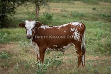 Kettle's Tattoo X CK Yellow Gold steer